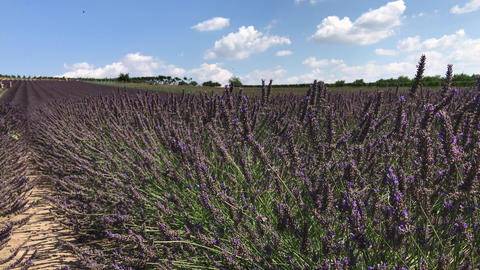 Bees on flowering lavender in rows, people gather harvest Footage