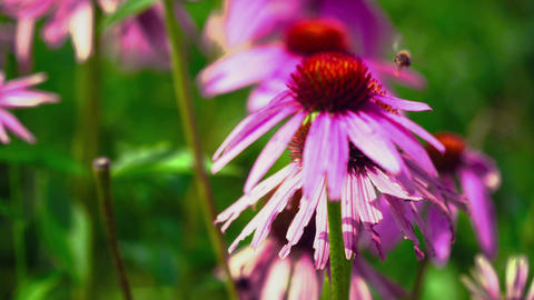 The bee pollinates the flower Footage