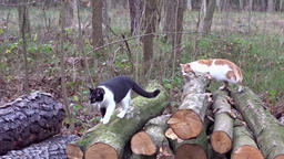 Domestic cats on the forest walk Footage