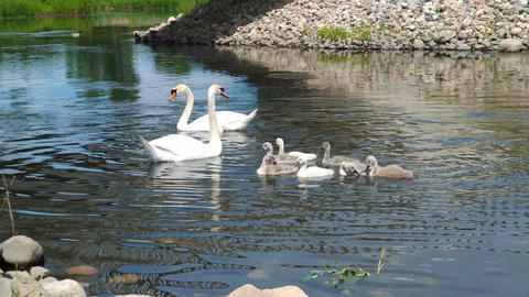 Swans and her babies. Ugly ducklings Footage