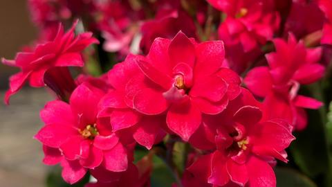 Flowering pink bud flower buds Live Action