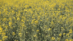 Close up of yellow canola in the field GIF
