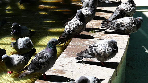 pigeons drinking in the park, slow motion shooting Footage