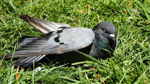 injured pigeon in city park Live Action