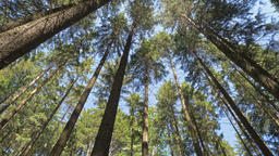 Forest trees. The sun shines on the high trees in a forest Footage