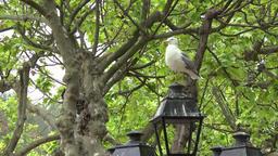 France Cote d'Azur Saint Tropez seagull sits on old lantern in plane tree park GIF