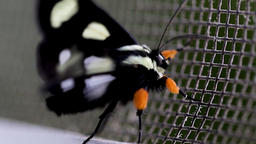 Moth flapping its wings in the wind. Small pretty moth waving its spotted black Footage