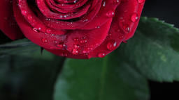 Macro Close Up of drops of water bouncing off of the petal of a red rose. Rain Footage