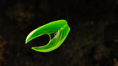 The wet green sprout at black background macro 영상물