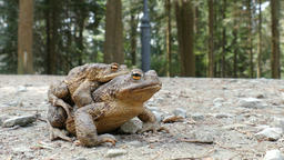Toads Mating. European common toad (bufo bufo) Footage