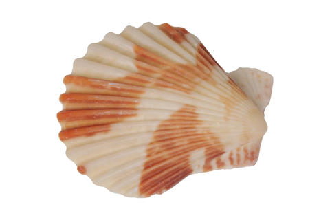 Sea shell on a white background Photo