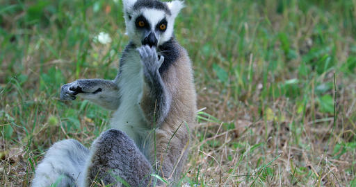 Ring Tailed Lemur Cleaning His Fur And His Fingers By Licking Them Footage