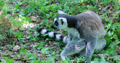 Ring Tailed Lemur Sitting In Nature Live Action