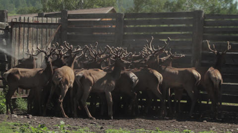 Maral. Fauna of the Altai mountains. Deer in nature. Deer in the nature of Altai Archivo