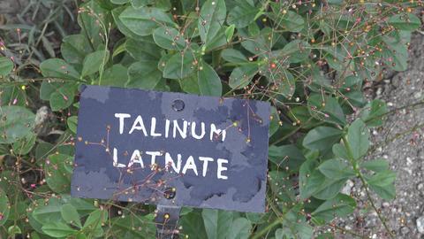 Ginseng herb or Panax flower and leaf (Talinum latnate,Talinum paniculatum). Footage
