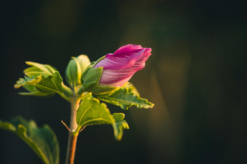 bud of hibiscus with green leaves Photo