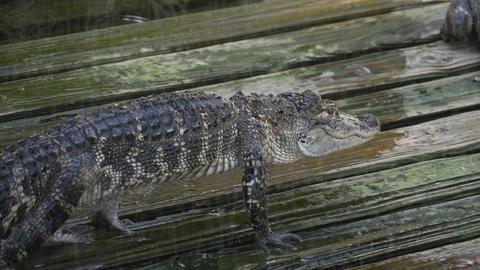 Alligator on a wooden wet platform Footage