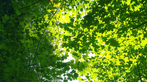 Fresh green leaves at beautiful sunny day, trees and sunlight Footage