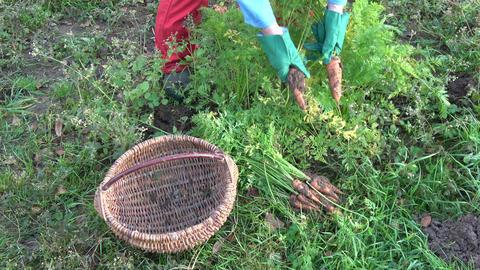 Gardener harvesting fresh ripe orange carrots in garden ビデオ