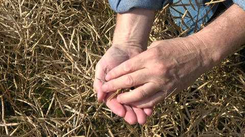 Farmer hands pick ripe rapeseed pods and looking grain condition Archivo