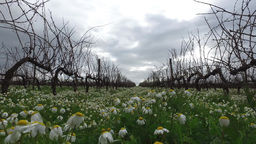 vineyards in winter with daisies flowers on a cloudy day steady cam gimbal Footage