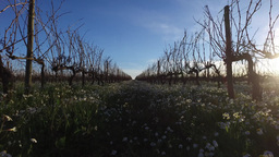 Walking In Plantation Of Grapevines Vineyard At Sunset In Spring, Steady Cam stock footage