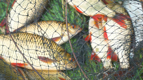 Caught Fish on the shore in a fishing cage on green grass Live Action