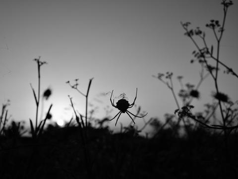 Backlit spider among the grasses Photo