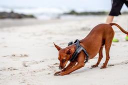 Happy cute miniature pinscher puppy playing at the beach Photo