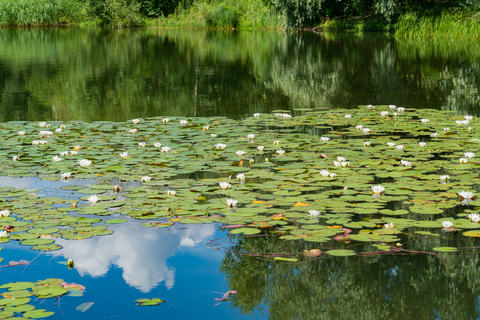 White water lilies bloom in the pond Photo