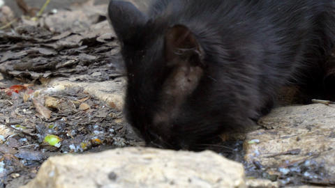 A black stray cat picks up leftover food from the floor Footage