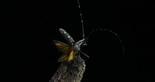 A longhorn beetle taking off Footage