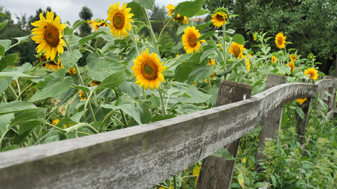 Sunflowers in the garden with wooden fence Live Action