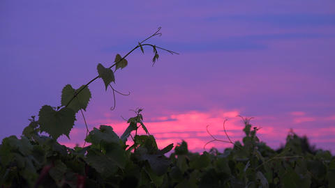 Sunrise Bordeaux Vineyard, Gironde, Aquitaine Footage