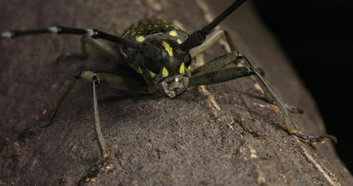 Yellow spotted longicorn beetle Live Action
