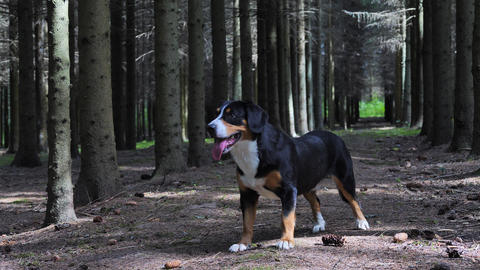 Dog standing in the spruce forest in a sunny summer day Archivo