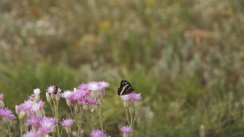 Black butterfly on a clearing of purple wild flowers... Stock Video Footage