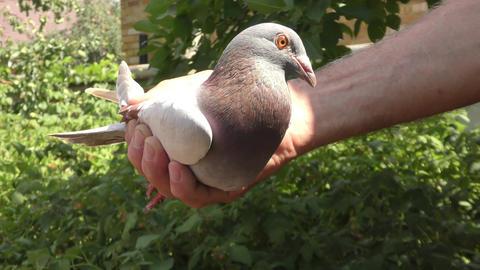Postal pigeon in hand coach pigeons Footage
