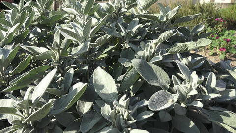 Common sage plant, aromatic herb and spice. Salvia officinalis in the garden. Footage