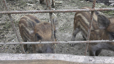 Wild boar. Little pig. Young wild boar piglets with their mother Live Action