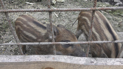 Wild boar. Little pig. Young wild boar piglets with their... Stock Video Footage