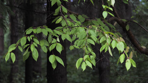 Branch with green leaves in the summer forest Live Action