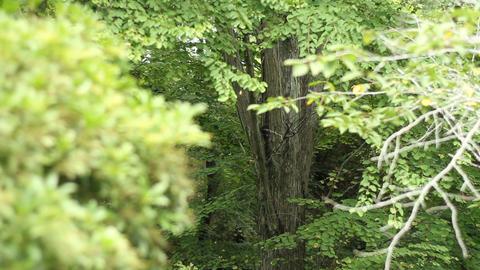 Forest at Hodosan shrine in Saitama middle shot back shallow focus ビデオ