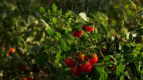 Fresh cherry tomatoes on a bush in the rain against the background of juicy Footage