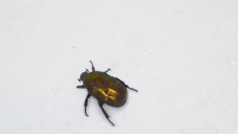 Large shiny green beetle Cetonia aurata Footage