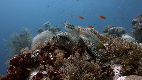 Green Sea Turtle on a coral reef 4k Archivo