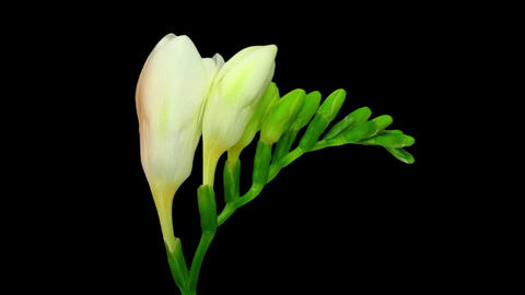 Time-lapse of opening white freesia buds in RGB + ALPHA matte format Footage