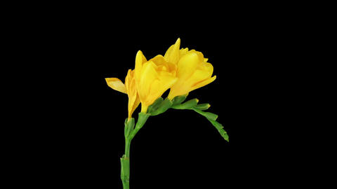 Time-lapse of opening yellow freesia flower in RGB + ALPHA matte format Footage
