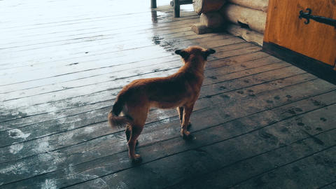 Homeless dog standing on wooden porch on rainy day, looking around, loneliness Live Action
