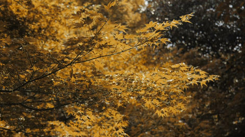 Yellow maple tree at park in autumn season Live Action